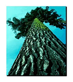 "Trademark Fine Art ""A Tree of Life"" by Kurt Shaffer Gallery-Wrapped  Canvas Art"