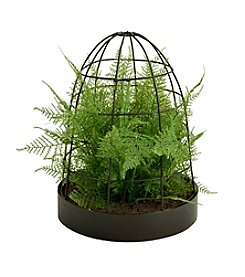 Picnic at Ascot Asparagus Fern