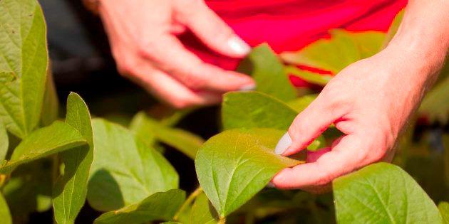 resistant frogeye leaf spot control strategies