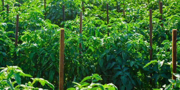 Tomato Disease Control Tips | DuPont ™ Fontelis ® | DuPont USA