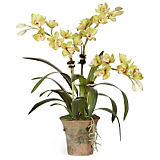 Diane James Green Cymbidium Orchid