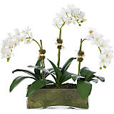 Diane James 3-Stem White Phalaenopsis Orchid in Rectangle Container
