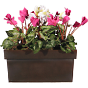 Cyclamen Window box