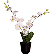 Orchid In Bio pot