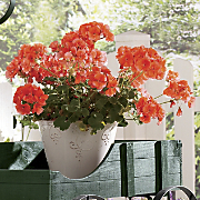 Beautiful Geraniums