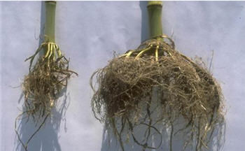 Photo showing poorly developed corn root system and normal root.