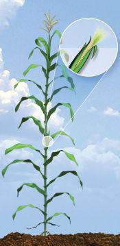 R1 Corn Growth Stage