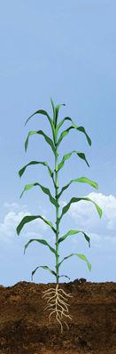 V6 - V8 Corn Growth Stages
