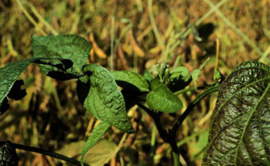 Crinkled, curled leaves - may indicate a viral disease such as bean pod mottle or soybean mosaic