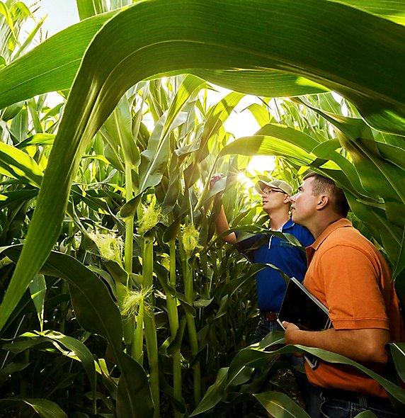 Inspecting corn