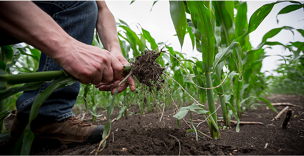 Inspecting corn roots