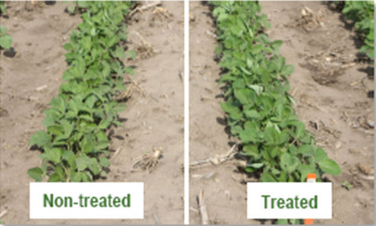 2012 side-by-side comparison of non-treated soybeans