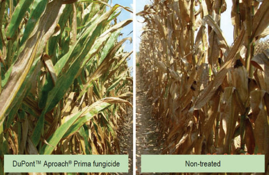 Comparison of corn field treated with DuPont(TM) Aproach® Prima fungicide and non-treated corn field near Winchester, Ark.