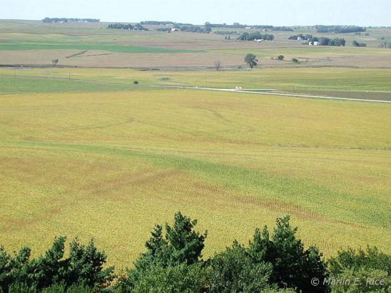 Soybean field - Area of green stem.