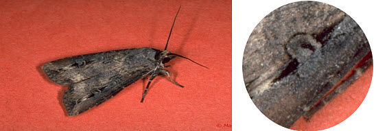 Close up photo showing a black cutworm moth and wing.