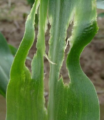 Damaged corn leaf with oval holes and yellow borders.