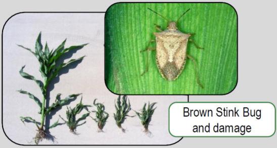 Brown stink bug and corn damage