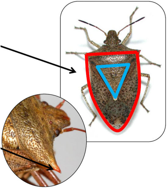 Brown stink bug and spined soldier bug