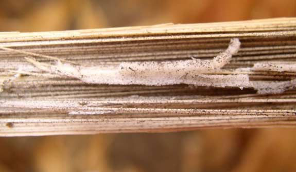 This is a photo showing shredded corn stalk pith due to charcoal rot.