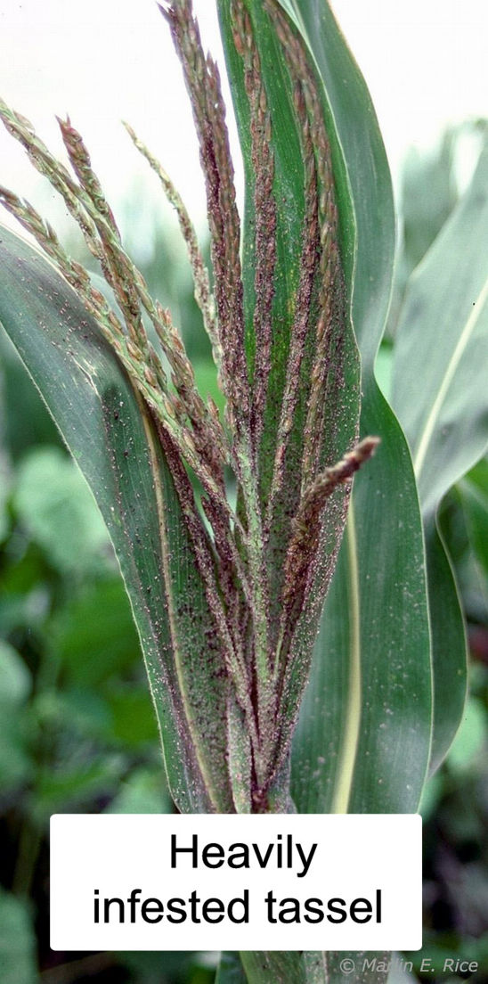 Corn tassel heavily infested with leaf aphids.