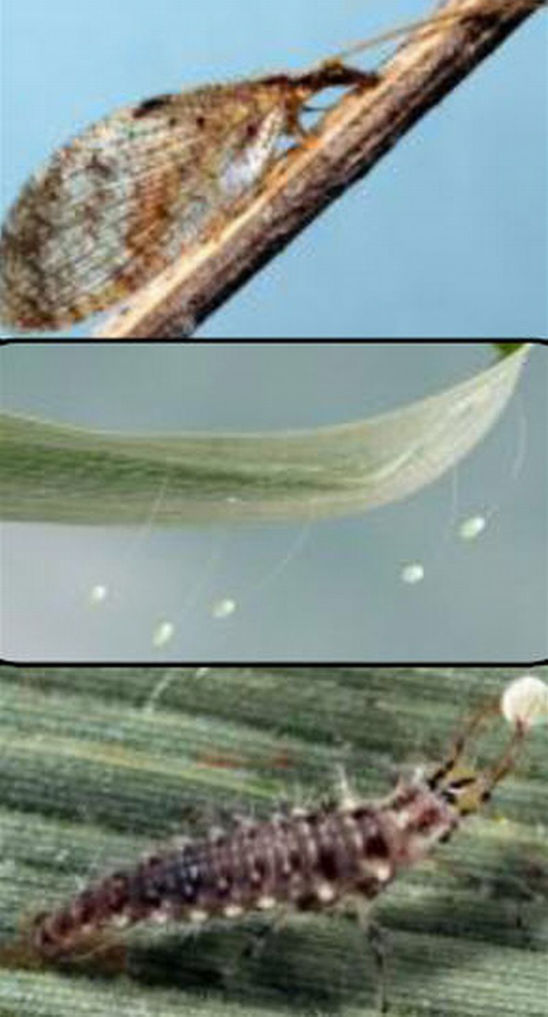 Green and brown lacewing adults, larvae