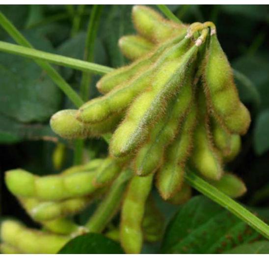 Closeup photo - green soybean pods in field