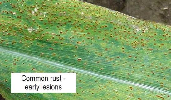 Common rust in corn - early symptoms
