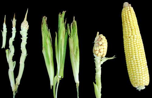 corn-ear-growth-injury