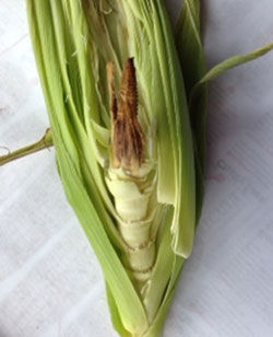 A severely arrested ear of corn with no kernels developed.