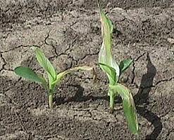 Isoxazole injury to corn seedlings.