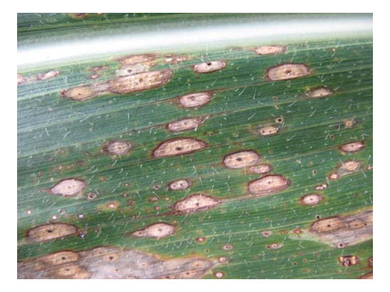 Corn leaf with clear ascomata of P. maydis at different growth stages.