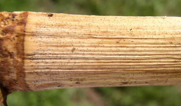 This is a photo showing corn stalk damage due to Diplodia stalk rot - note pycnidia on corn stalk node.