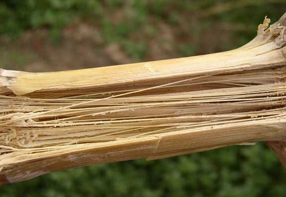 This is a photo showing a disintegrated corn stalk pith caused by Fusarium.