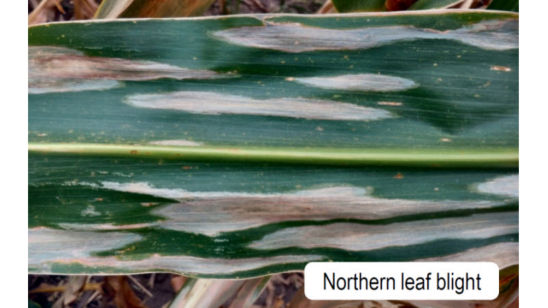 northern leaf blight