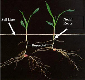 Corn early growth and development.