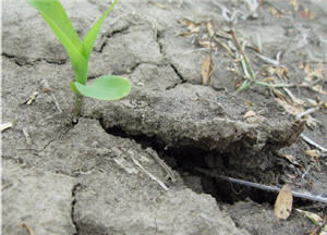 Soil crusting around corn seedling.