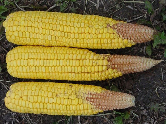 Moderate silk delay can cause poorly filled corn ear tips.