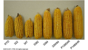 Sample ears from plots planted 45,000 ppa