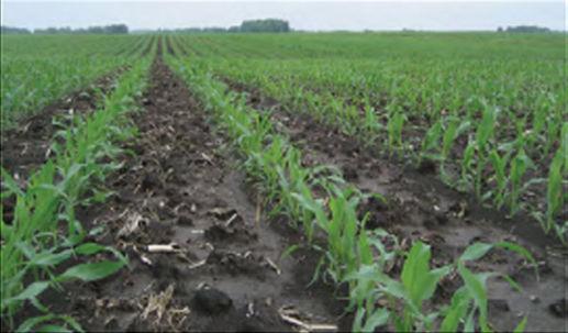 Twin-row corn