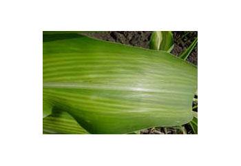 Corn leaf exhibiting zinc deficiency.