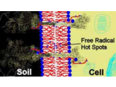 Damaged cell membranes can attract soil fungi leading to corn seedling disease.