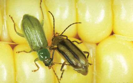 Northern (left) and western (right) corn rootworm adults.