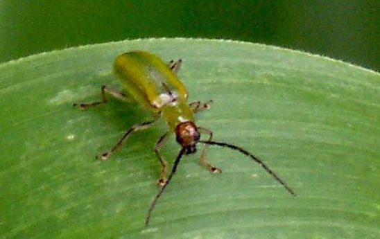 Mexican Corn Rootworm