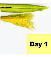 Corn ear - day 1 of pollination.