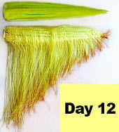 Corn ear - day 12 pollination.