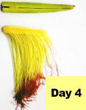 Corn ear - day 4 pollination.