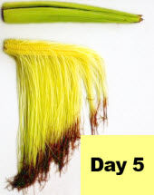 Corn ear - day 5 pollination.