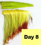 Corn ear - day 8 pollination.