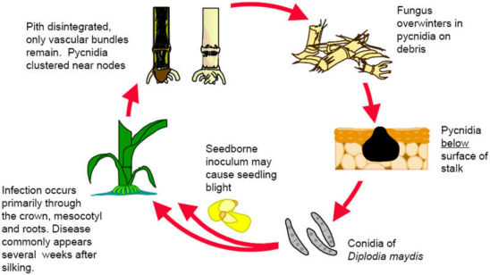 Diplodia stalk rot annual disease cycle