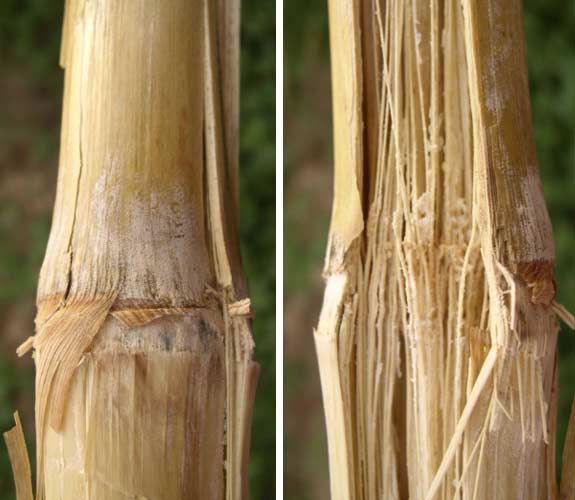 These are side-by-side photos showing internal and external fusarium corn stalk rot symptoms.